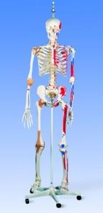 modell-full-størrelse-skjelett-undervisning-kropp-helse