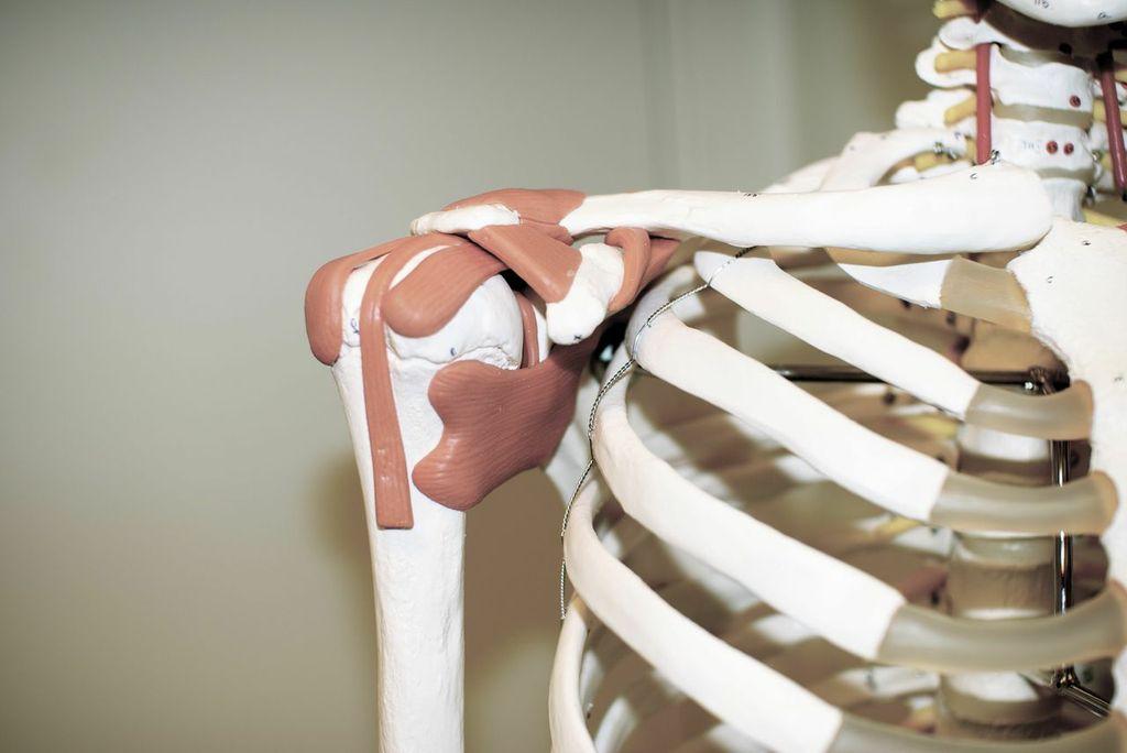led-skulder-ligament-modell