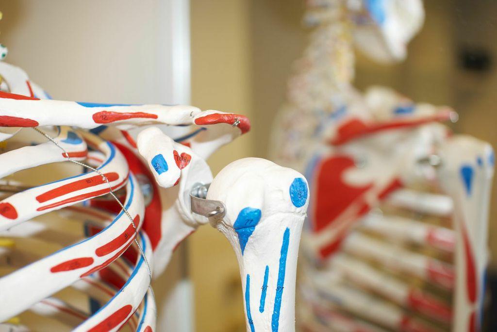 undervisning-modell-kropp-skulder-muskler